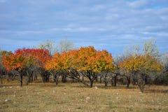 Brokig aprikosträdgård Royaltyfri Bild