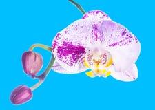 Brokig lila orkidé som isoleras med knoppen, på en blå bakgrund Fotografering för Bildbyråer