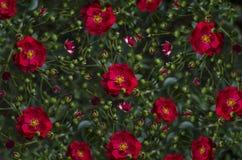Brokig offör bakgrundÂslår ut och den röda rosen Fotografering för Bildbyråer