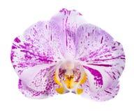 Brokig orkidé som isoleras, på en vit bakgrund Arkivfoton