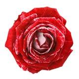 Brokig röd ros Royaltyfria Bilder