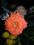 Brokiga rosor Fotografering för Bildbyråer