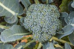 Brokkoli stockbild