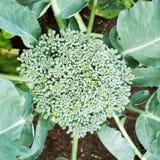 Brokkoli, der auf Gemüsebett wächst Lizenzfreie Stockfotografie