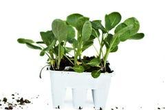 brokuł rośliny zdjęcia royalty free