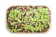 brokuły microgreen krótkopędy jest r odosobneni na białym tle zdjęcie stock