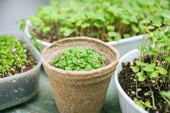 brokuły microgreen krótkopędy w organicznie zbiorniku zdjęcia royalty free