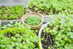 brokuły microgreen krótkopędy w organicznie zbiorniku zdjęcie royalty free