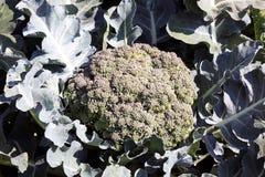 Brokuły są zim warzywami Zdjęcia Royalty Free