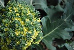 brokułów target1802_1_ Zdjęcia Stock