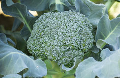 Brokuły w ogródzie Zdjęcie Stock