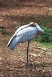 Brolga - австралийская родная птица Стоковое фото RF