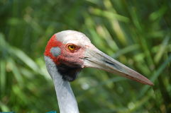 Brolga Royalty Free Stock Image