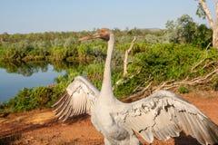 Brolga Antigone rubicunda, a bird in the crane family dances for the camera in Australia`s top end stock photography