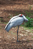 Brolga - Australische Inheemse Vogel Royalty-vrije Stock Foto
