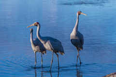 Brolga. Big Australian water bird Royalty Free Stock Photo