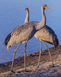 Brolga. Big Australian water bird Stock Photos