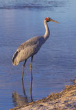 Brolga. Big Australian water bird Stock Image