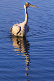 Brolga. Biga Australian water bird Royalty Free Stock Photography