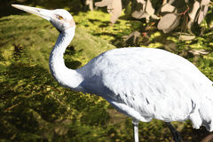 Brolga bird, Australia Stock Images