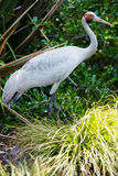 Brolga bird Stock Photos