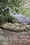 Brolga. The brolga is a tall bird with long legs Royalty Free Stock Images