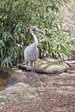 Brolga. The brolga is a tall bird with long legs Stock Photography