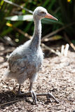 Brolga chick. Small chick of brolga bird Royalty Free Stock Photography