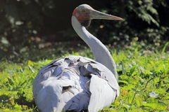 Brolga crane. The adult brolga crane in the grass Stock Photos