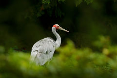 Brolga Crane, Antigone rubicunda, with dark green background. Bird in the habitat, crene in green forest vegetation. Wildlife scen. E from nature Stock Photos