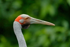 Brolga Crane, Antigone rubicunda, with dark green background. Bird head with gold crest in beautiful evening sun light. Sunset in. Brolga Crane, Antigone royalty free stock photography