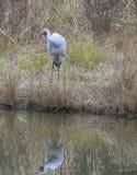 Brolga Crane preening reflection royalty free stock photo