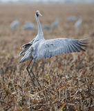 Brolga. Dancing in outback queensland,Australia Stock Photography