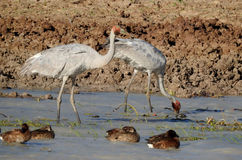 Brolga. Feeding on  Francis lagoon near Camooweal, Queensland, Australia Stock Photos
