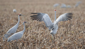 Brolga. In a field of Sorgum Royalty Free Stock Photo