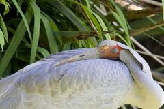 Brolga (guindaste australiano) Foto de Stock Royalty Free