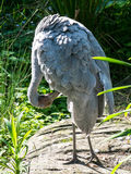Brolga Stock Photo