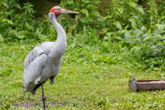 Brolga. Sitting in the grass Stock Photo