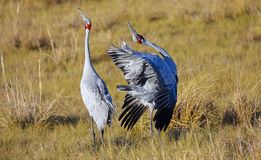 Brolgas mating dance in Queensland, Australia royalty free stock images
