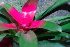 bromélia (d'imperialis de vriesea) ou usine d'urne (fasciata d'Aechmea) Photographie stock libre de droits