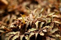 Bromélia de Brown Images stock