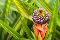 Bromélia de floraison Aechmea Photo libre de droits