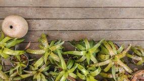 Bromélia sur les planchers en bois Photographie stock libre de droits