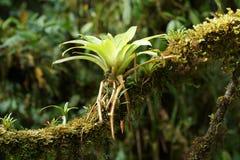 Bromélia sur une branche d'arbre Images stock
