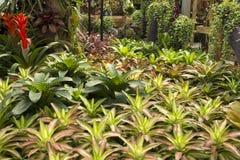 Bromélias de jardin Photographie stock