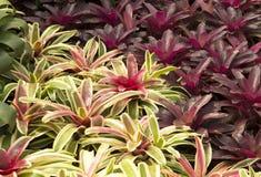Bromélias de jardin Photos stock