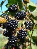 Brombeere. Stockfotos