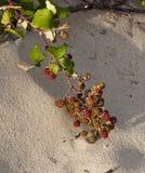 Brombeere auf den Dünen der atlantischen Küste Lizenzfreies Stockbild