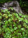 Brombeere auf einem Stumpf Stockbild