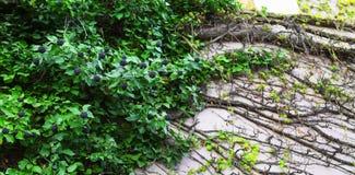 Brombeeren auf dem Hintergrund von grünen Blättern stockfoto